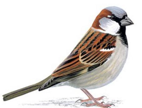 House Sparrow most common bird