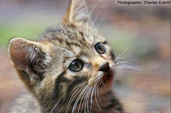 Scottish Wildcat kitten