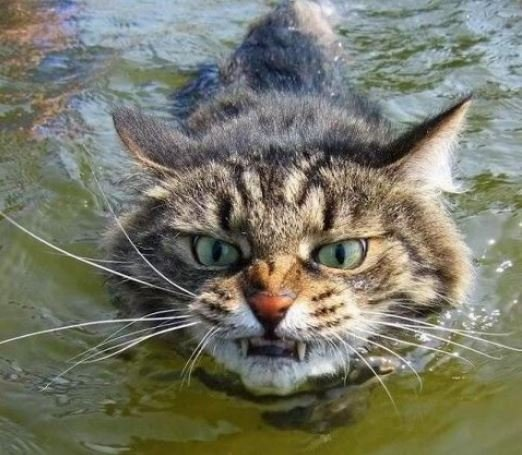 Scottish wildcat is a swimmer