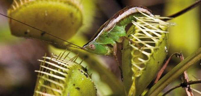 Venus flytrap attracting an insect
