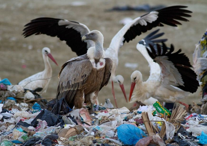 White storks and vulture feeding on a rubbish dump
