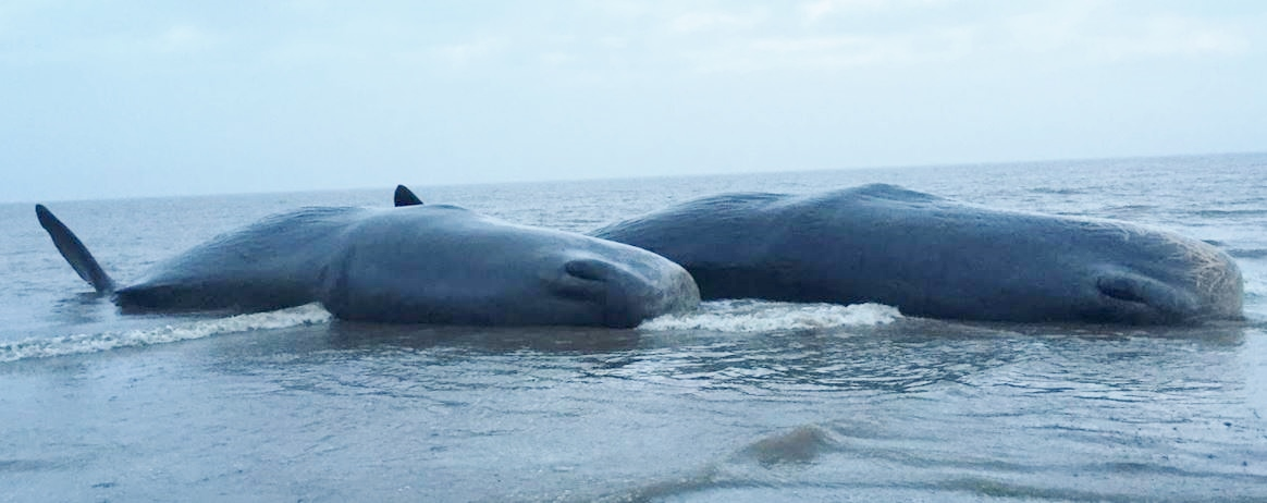 two dead whales washed up on the beach