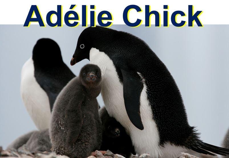Adelie penguin chick