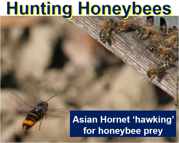 Hunting Honeybees