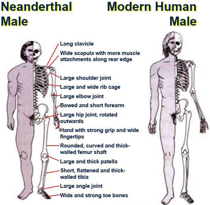 Neanderthal and Modern Human