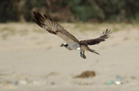 Scottish Osprey spotted on Senegal beach