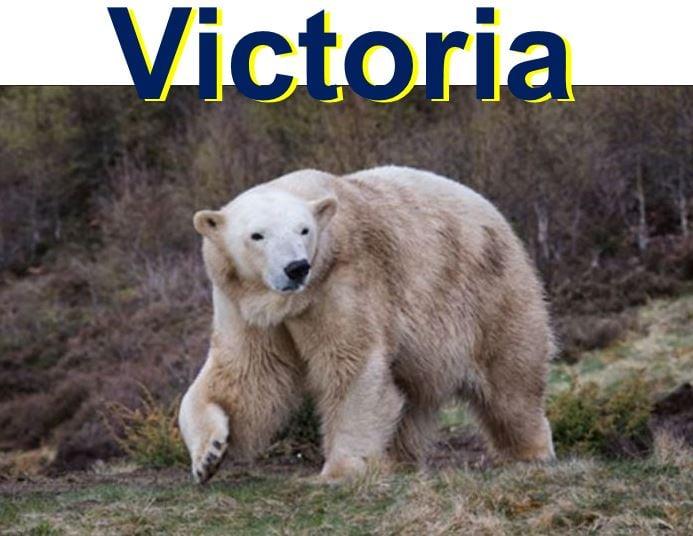 Victoria the female polar bear
