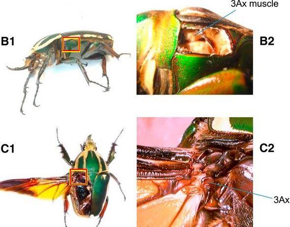 Beetle muscle
