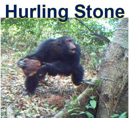 Chimpanzee hurling stone at tree