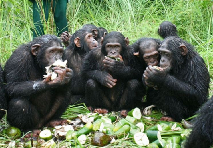 Chimpanzees chewing