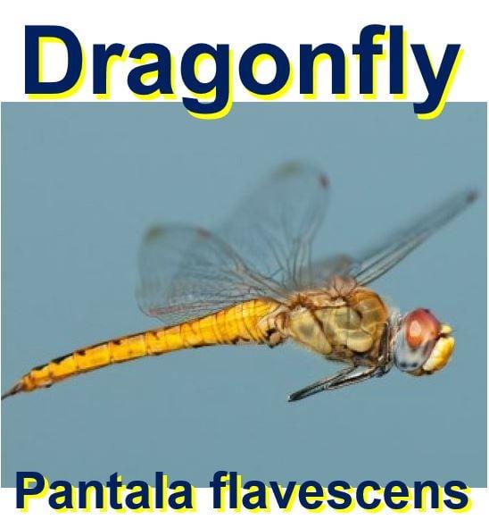 Dragonfly longest flier in the world