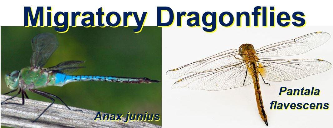 Migratory Dragonflies