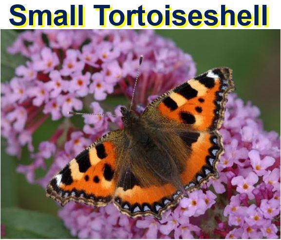 Small Tortoiseshell