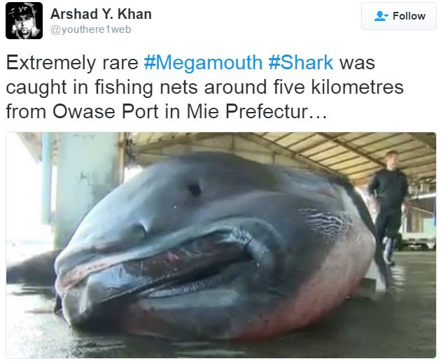 Megamouth shark with man next to it