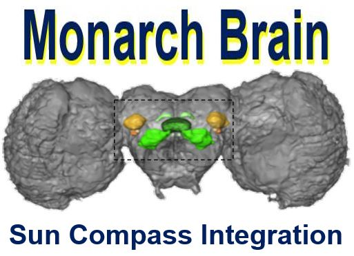 Monarch butterfly brain