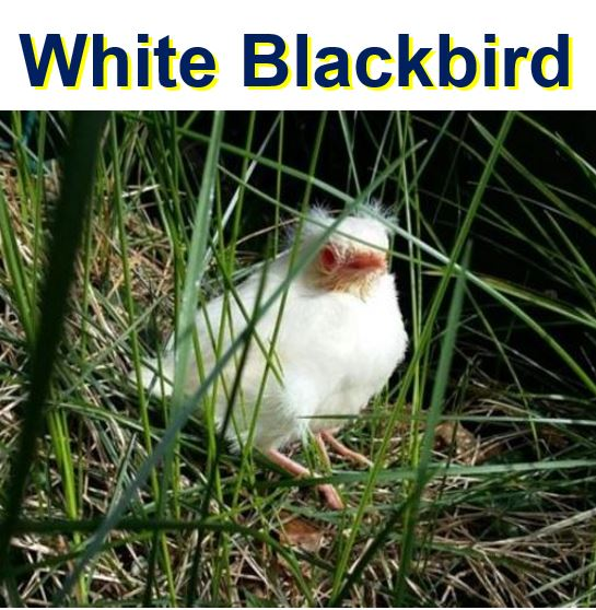 White Blackbird or Albino Blackbird