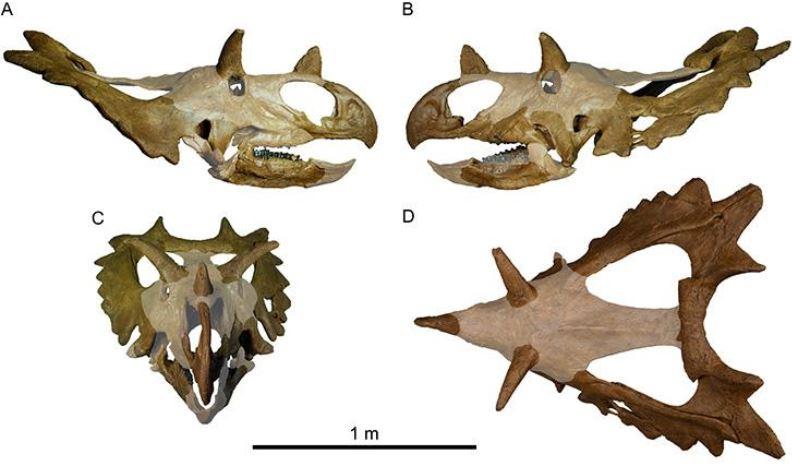 Bones of dinosaur skull