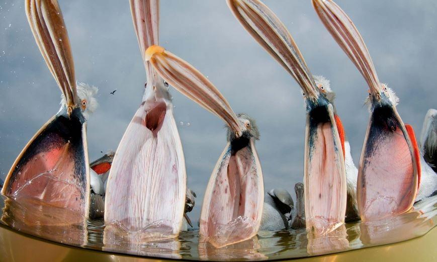 Dalmatian pelicans photo
