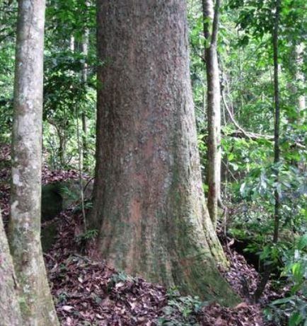 Gilbertiodendron maximum new species discovered