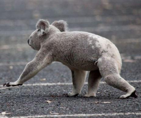 Koala moving on the ground