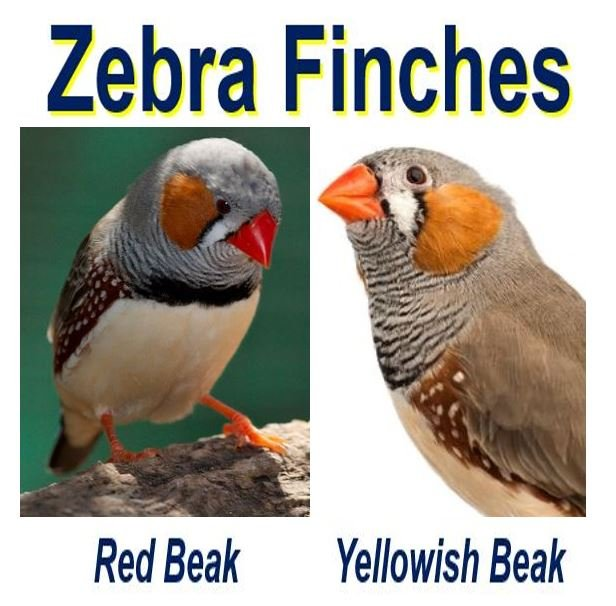 Zebra find red beak and yellowish beak