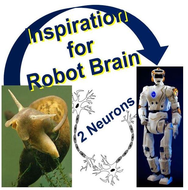 Two brain cells in snail insipiration for robot brain