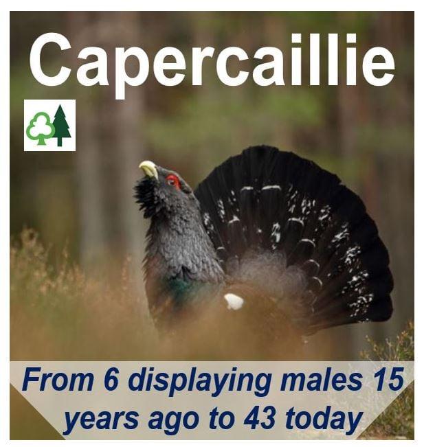 Capercaillie Scotland