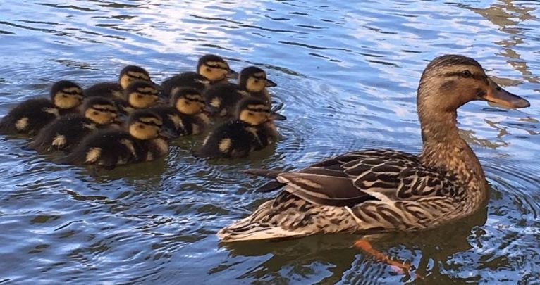 Ducklings with their mother