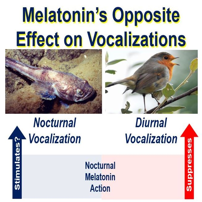 Effect of melatonin on singing fish and songbirds