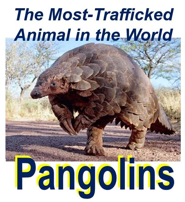 Pangolins - the most trafficked animal in the world