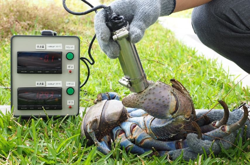 Measuring the strength of the claw of a coconut crab
