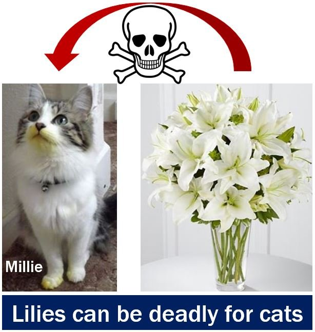 Lilies can be deadly for cats