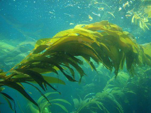 seaweed - kelp
