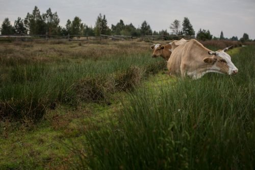 image: Chernobyl - cows in the Rivne region of Ukraine