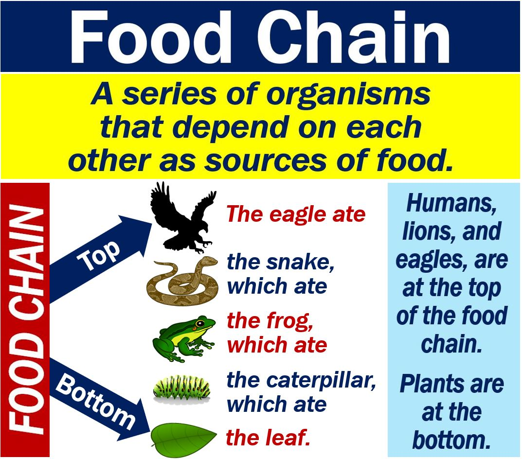 What is the food chain? Definition and examples - Market ...