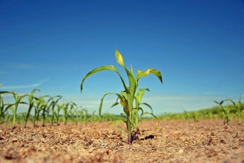 plant shoots in field