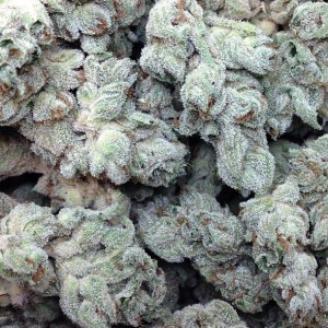 White Dragon Indica Strain