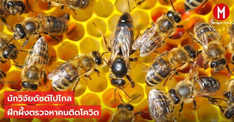 ผึ้งดัตช์