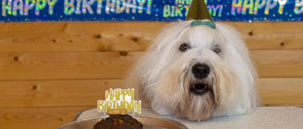 The Dulux dog with a birthday cake.