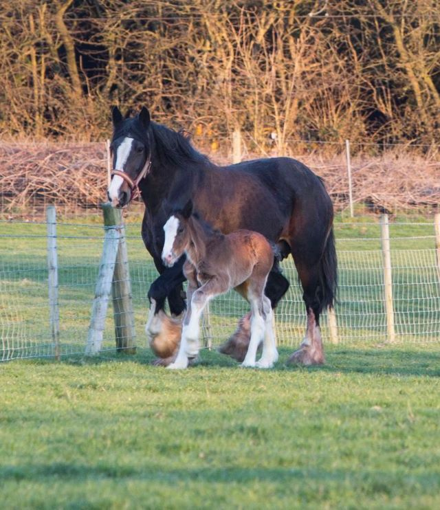 Robinsons Brewery announce birth of third foal from Shire Breeding Programme