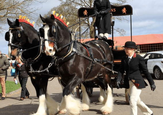 Robinsons Shire Horses and dray trotting out to promote the Shire Horse National Show