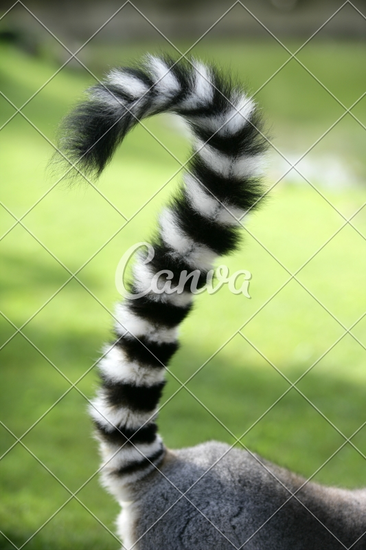 Ring Tailed Lemur From Madagascar Question Mark Shape