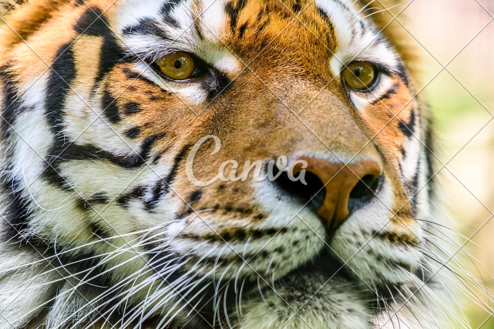 tiger s face photos