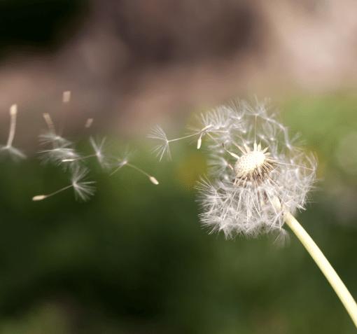 dandelion seeds profit-center marketing