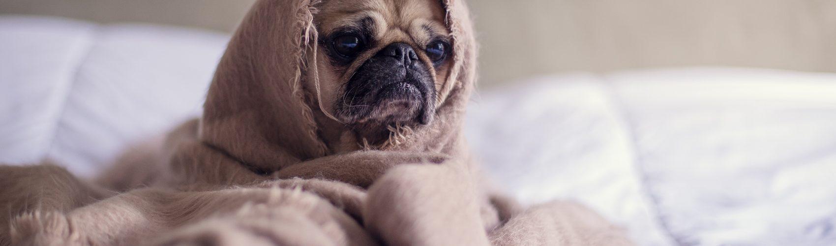 Pug Making Life Decisions for Blog