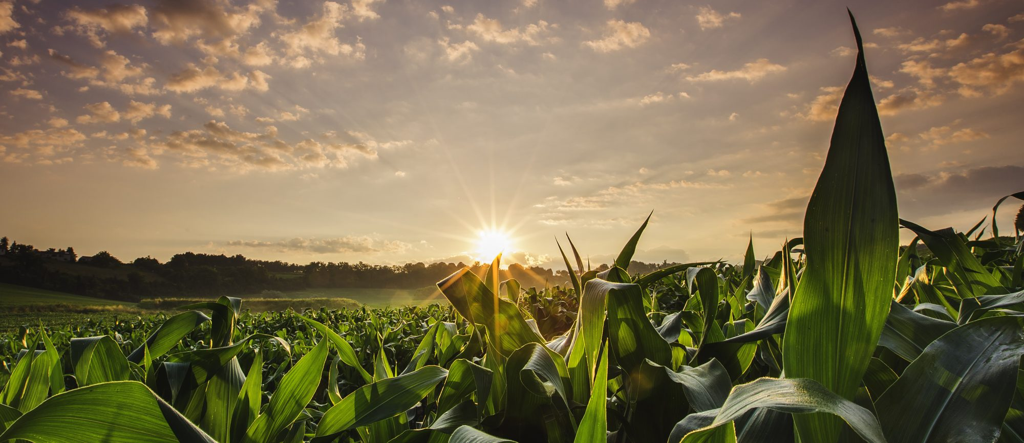 cropped-agriculture.corn_.field_.sunset.jpg
