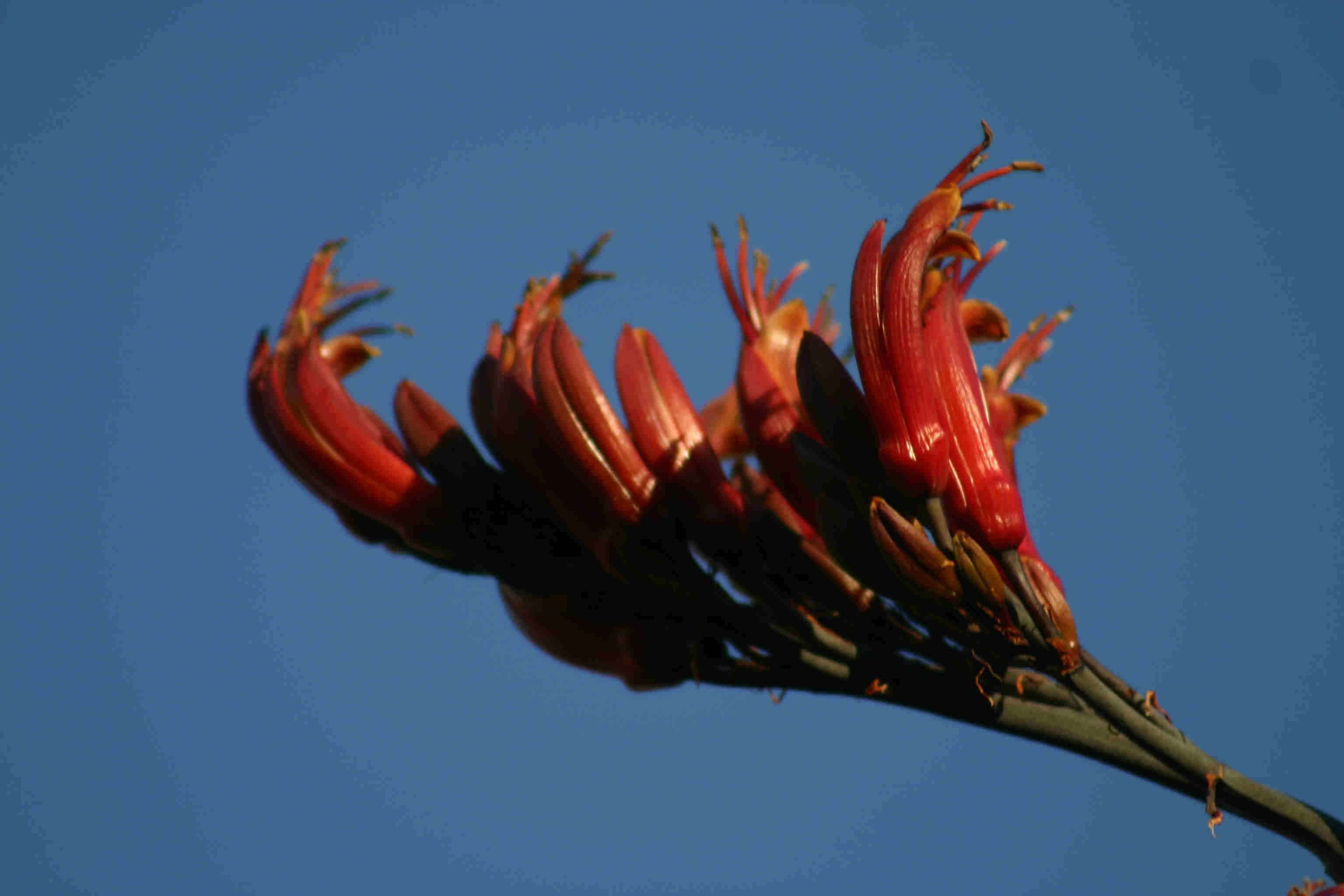 cordeline-flower.jpg