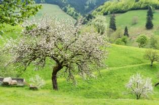 Frühling im Münstertal