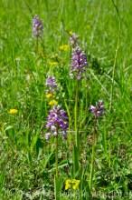 Orchideenwiese3