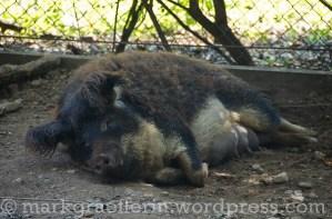Wollschwein 9